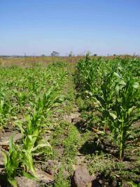 Zambia maize unfertilized and fertilized